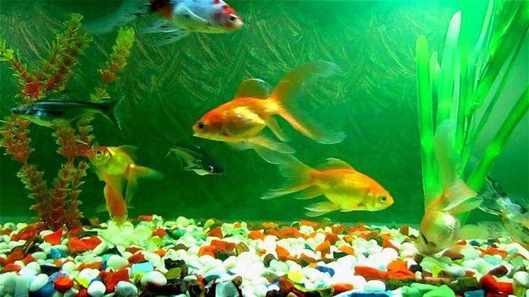 Un esempio di pesci in acquario domestico.
