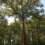 Un grande albero di teak