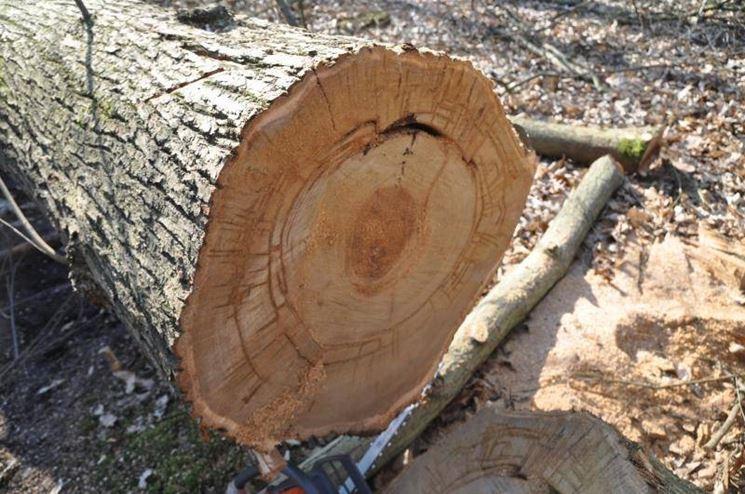 Cipollatura su un tronco di castagno