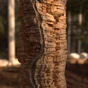 Pianta secolare di quercia da sughero