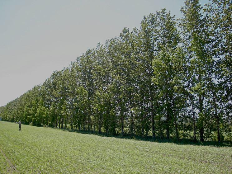 piantagione di pioppi nel Québec