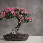 Fare bonsai