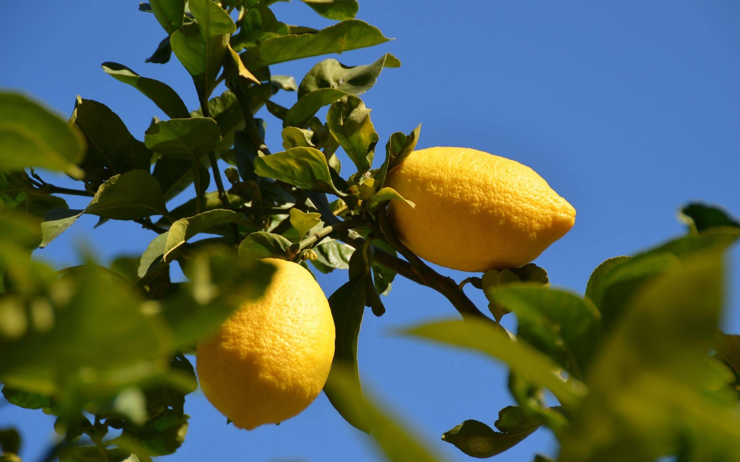 Come potare il limone - Frutteto - Potatura pianta limone