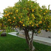 potare il limone