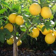 quando si pota il limone