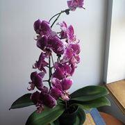 Orchidea pienamente matura