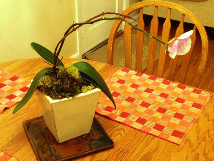 Orchidea appena potata in fase di ricrescita