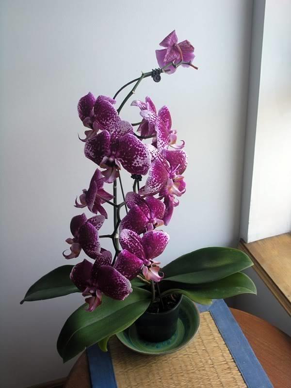 Come potare un 39 orchidea come potare lavori fai da te - Come curare un orchidea in casa ...