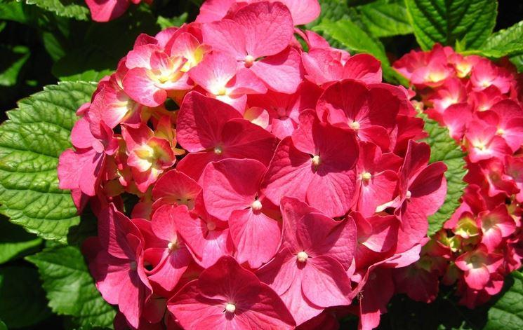 Fiore ortensia fucsia