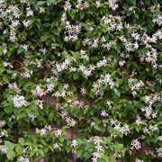 Una pianta del tipico gelsomino dai fiori bianchi
