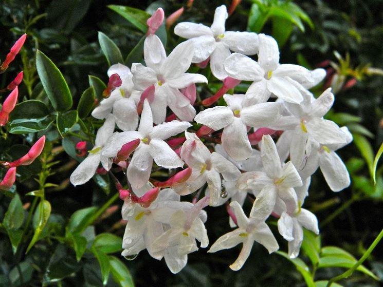I fiori del gelsomino