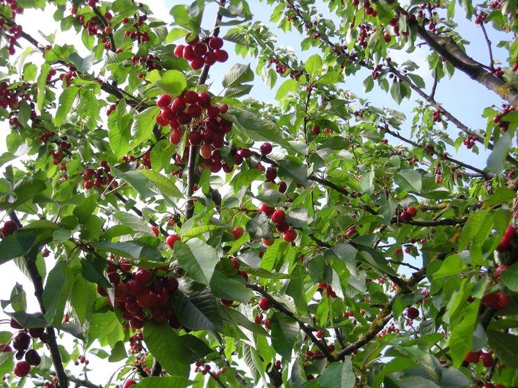 la potatura del ciliegio come potare la potatura del