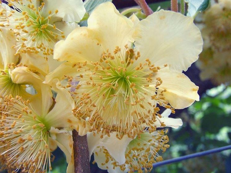 Fiore della pianta del kiwi