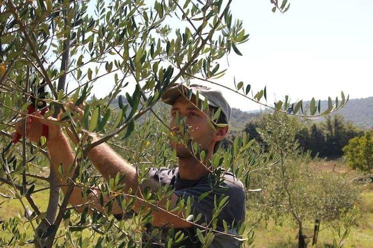 taglio olivo