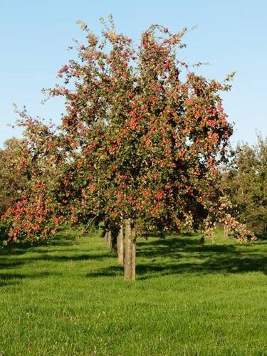 Grande melo cresciuto e maturato