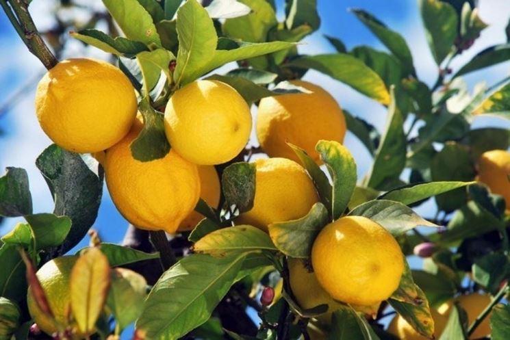Quando potare il limone come potare potare il limone for Periodo potatura limone