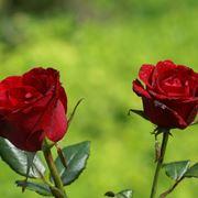 Come potare un albero fiorito for Potare le rose