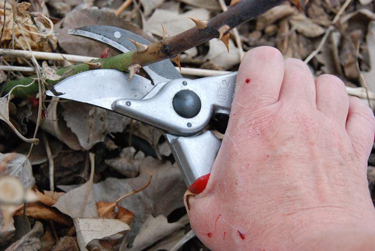 Taglio del ramo di rosa