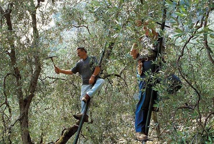 Potatura olivi tramite seghe manuali