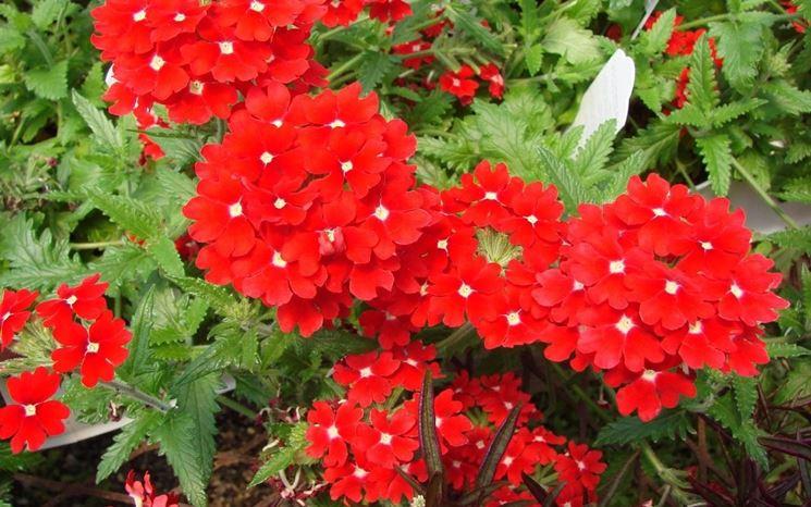 fiori da giardino perenni fare giardinaggio fiori perenni