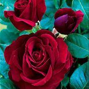 Pianta di rose Black Magic