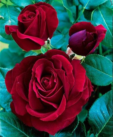 Pianta di rose Black Magic
