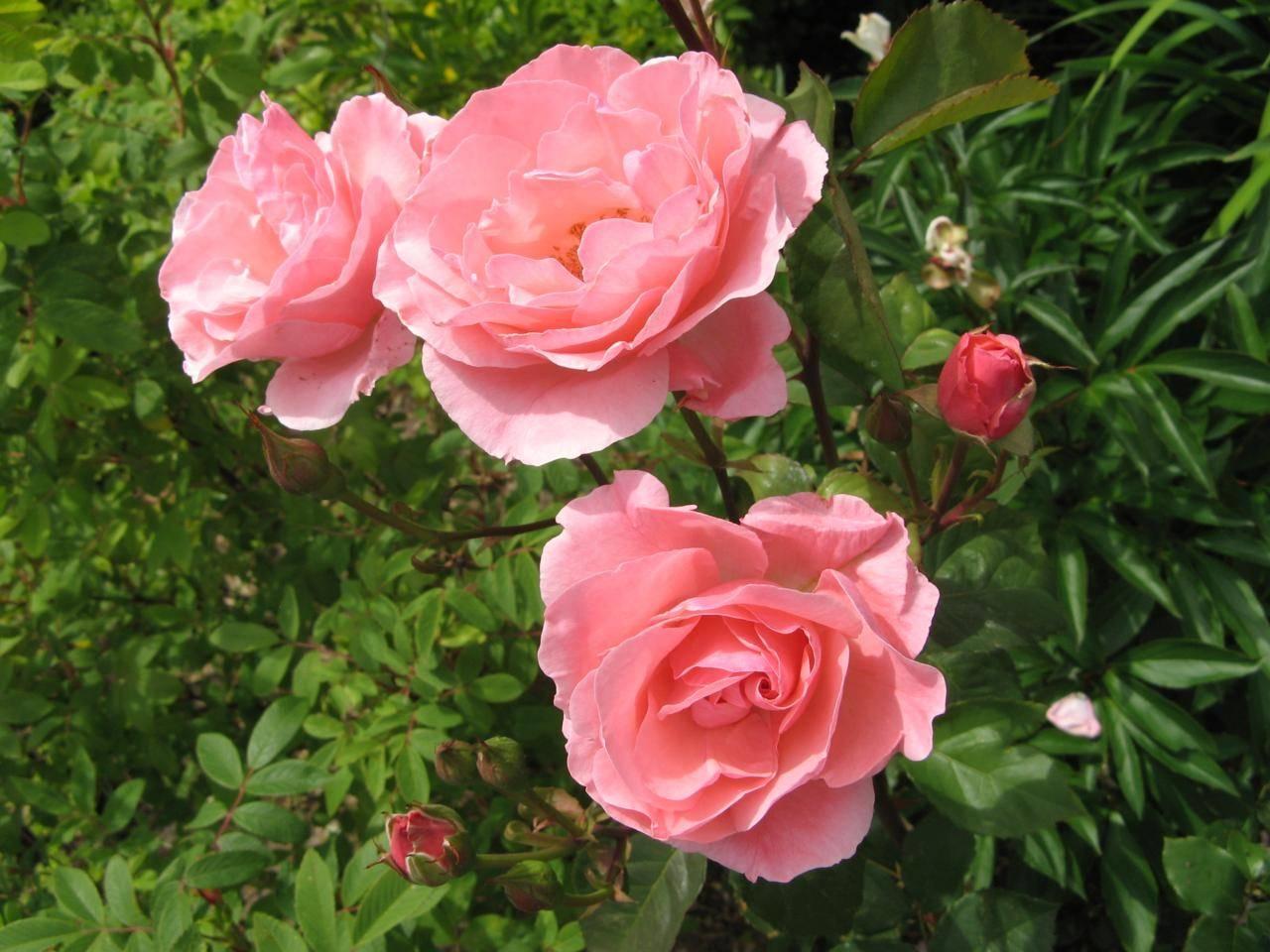 la coltivazione delle rose fare giardinaggio consigli. Black Bedroom Furniture Sets. Home Design Ideas