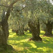 Alberi di olivo secolari