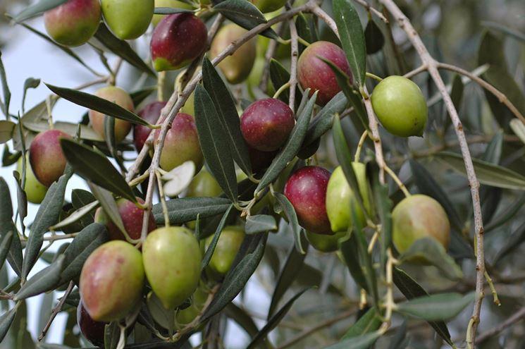 Olive in fase di maturazione