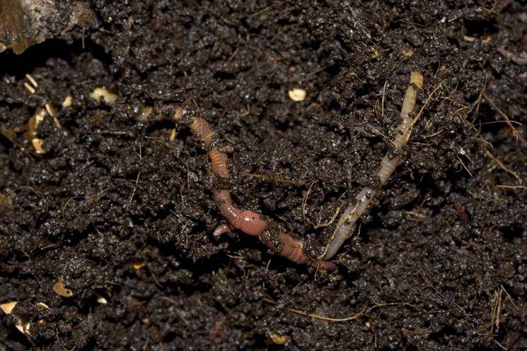 I lombrichi sono utilissimi per il compost