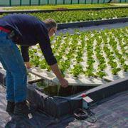 Esempio di coltivazione idroponica Esempio di coltivazione idroponica Esempio di coltivazione idroponica