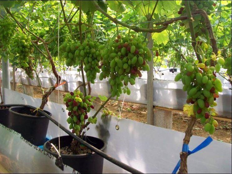 Realizzare una coltivazione idroponica fare giardinaggio - Uva da tavola coltivazione ...
