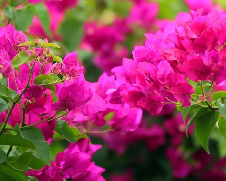 Bouganvillea - Fiori in giardino - Come coltivare la Bouganvillea