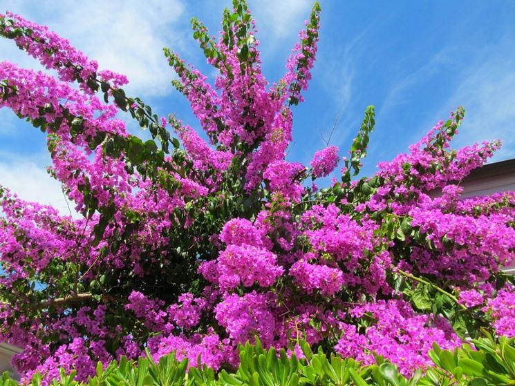 I fiori della bouganvillea avvolti dalle brattee