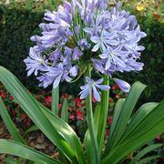 agapanthus fiore