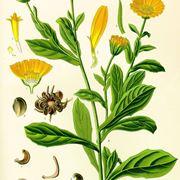 Disegno botanico della calendula arvensis