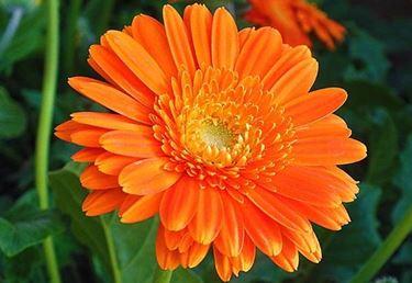 un fiore di calendula