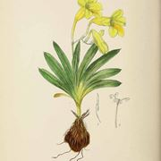 Disegno botanico di freesia refracta
