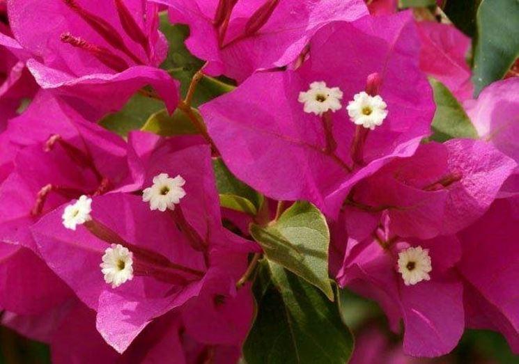 fiori bouganville