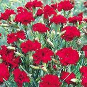 garofani rossi