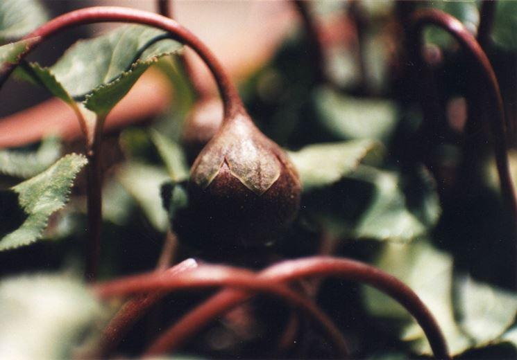 Il frutto del ciclamino
