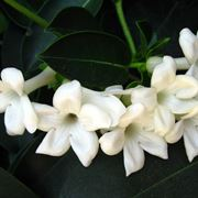 Fiore del gelsomino
