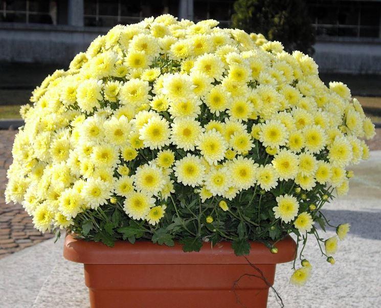 Un vaso di crisantemi gialli