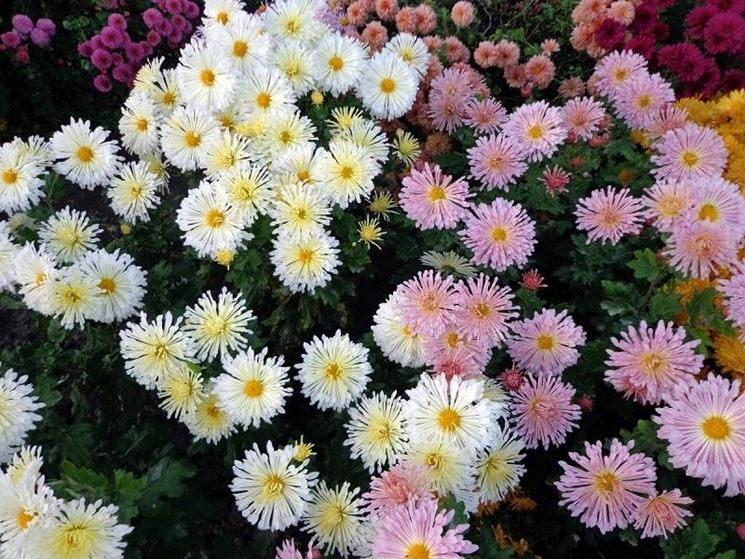 Piante di crisantemo dai vari colori