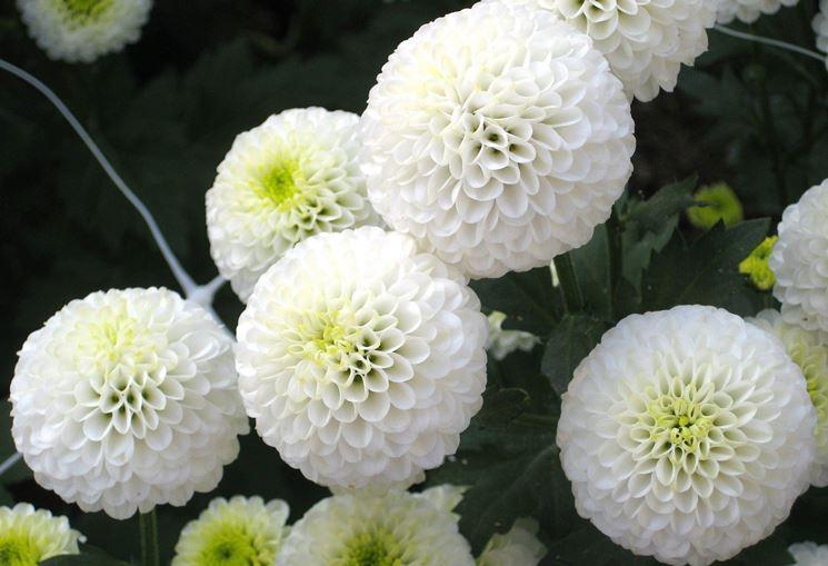 Un esempio di crisantemo pompon bianco