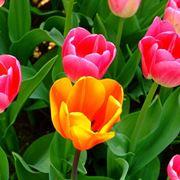 Tulipani colorati