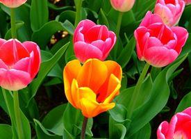 Come curare il tulipano