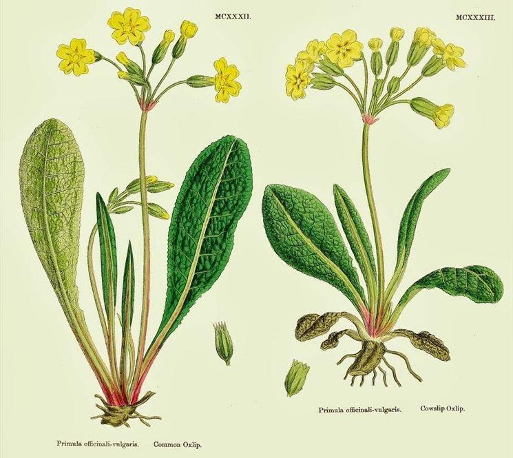 disegno botanico di primula