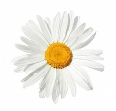 I fiori della margherita.
