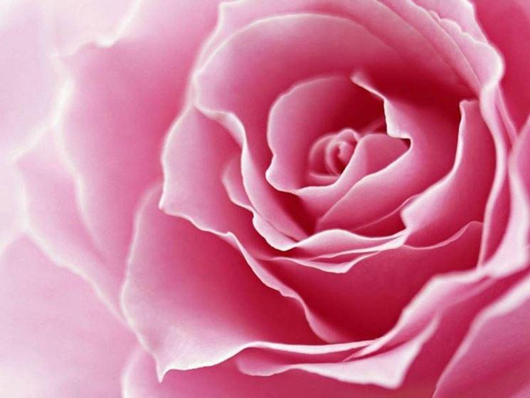 Estremamente fiori rose - Fiori in giardino HH44